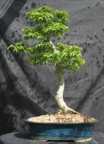 Acero Shishigashira